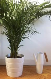 Areca, planta de interior