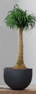 Pata de elefante o Beaucarnea, planta de interior