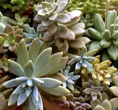 Suculentas, plantas de interior
