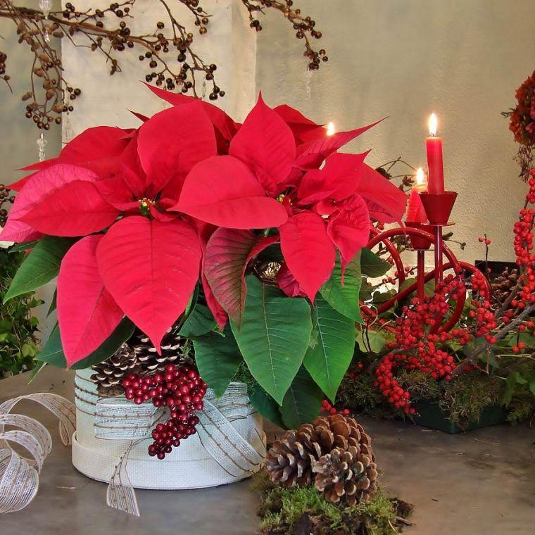 Adornos imprescindibles en la decoraci n navide a blog - Que cuidados necesita la flor de pascua ...