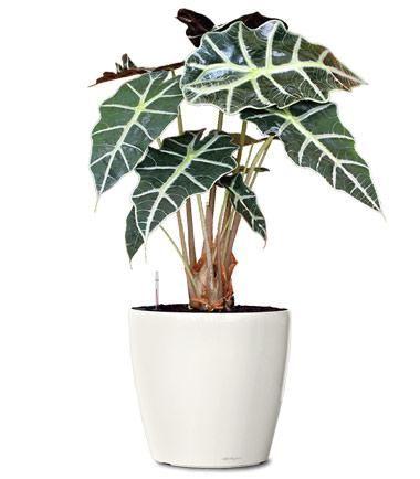 Planta alocasia